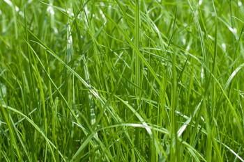 газонная трава evergreen